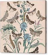 Agrotidae - Hadenidae Canvas Print