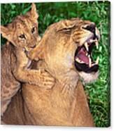 Ah Being A Mother Is Wonderful African Lions Wildlife Rescue Canvas Print