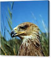 Aigle Imperial Aquila Heliaca Canvas Print