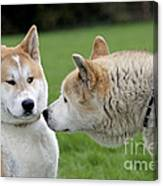 Akita Inu Dogs, Old And Young Canvas Print