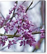 Alabama Redbuds Canvas Print