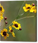 Alabama Wildflowers Coreopsis Tinctoria Tickseed Canvas Print