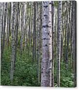 Alaska - A Dense Grove Of Birch Trees Canvas Print