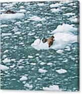 Alaska Seals Canvas Print