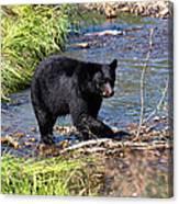 Alaskan Black Bear Hunting In A River Canvas Print