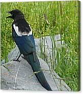 Alaskan Magpie Canvas Print