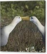 Albatross Perform Courtship Ritual Canvas Print