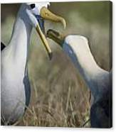 Albatross Perform Mating Ritual Canvas Print