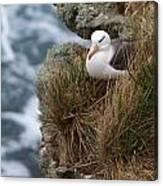 Albatross Rookery Canvas Print