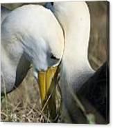 Albatrosses Snuggle Canvas Print