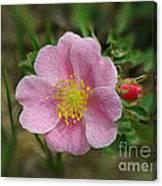 Alberta's Wild Rose Canvas Print