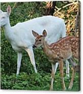 Albino Doe And Fawn Canvas Print