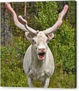 Albino Reindeer Canvas Print