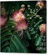 Albizia Julibrissin Canvas Print
