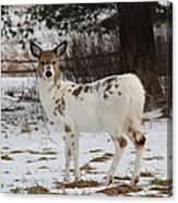 Albright The Piebald Deer Canvas Print