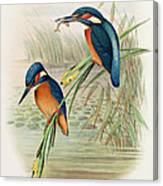 Alcedo Ispida Plate From The Birds Of Great Britain By John Gould Canvas Print
