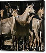 Alert Antelopes Canvas Print