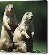 Alert Black-tailed Prairie Dogs Canvas Print