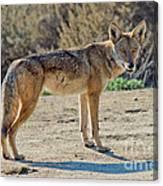 Alert Coyote Canvas Print