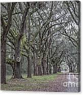Allee Of Oak Tree's Canvas Print