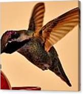 Allen Hummingbird In Flight At Feeder Canvas Print