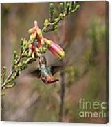 Allen Hummingbird In Flight Canvas Print