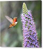 Allen Hummingbird On Flower Canvas Print