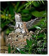 Allens Hummingbird Chicks Canvas Print
