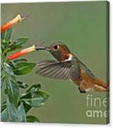 Allens Hummingbird Feeding Canvas Print