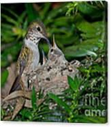 Allens Hummingbird Feeds Young Canvas Print