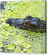 Alligator In Duckweed Looking At Me Canvas Print