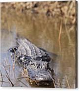 Alligator In Evergrades Canvas Print