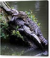 Alligator Mates Canvas Print