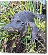 Alligator Overbite Canvas Print