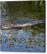 Alligator Swimming In Blue Water Canvas Print
