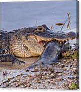 Alligator With A Fish Canvas Print