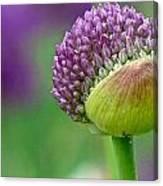 Allium Blooming Canvas Print