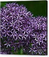 Allium Duet Canvas Print