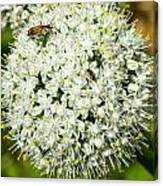 Allium Flower And Lightning Bug Canvas Print