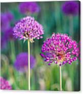 Allium Flowers - Featured 3 Canvas Print