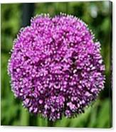 Allium Globe Canvas Print