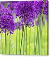 Allium Hollandicum Purple Sensation Flowers Canvas Print
