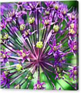 Allium Series - Close Up Canvas Print