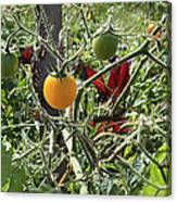 Almost Harvest Time Canvas Print