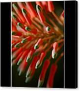 Aloe Bloom Window 3 Canvas Print