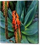 Aloe Canvas Print