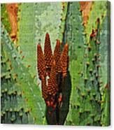 Aloe Vera's New Buds Canvas Print