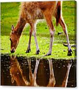 Along The Water Grazing Pere David's Deer Canvas Print
