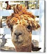 Alpaca Bed Head Canvas Print