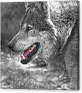 Alpha Male Wolf - You Look Tasty Canvas Print